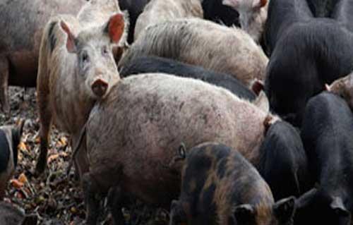 """وفاة أول محالة مصابة بإنفلونزا الخنازير """"الإنفلونزا الموسمية"""" H1N1 فى مصر"""
